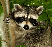 Raccoon In Tree by Wild For Ever
