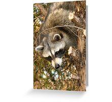 Raccoon In Pine Tree Greeting Card