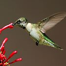 Ruby Throated Humming Bird by jozi1