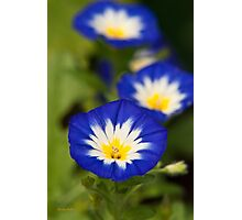Bush Morning Glory Flowers Photographic Print