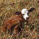 SPRING CALF by Helen Akerstrom Photography