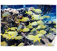 Yellow Caribbean Reef Fish on a Bahamas Reef Poster