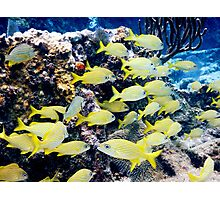 Yellow Caribbean Reef Fish on a Bahamas Reef Photographic Print