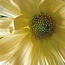 A Yellow Daisy by Orest Macina