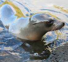 Galapagos Sea Lion by jhuxster
