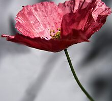 Red Poppy on Grey Background by Scott Anderson