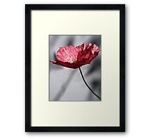 Red Poppy on Grey Background Framed Print