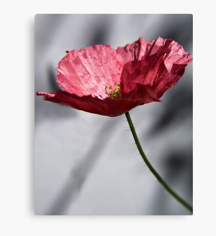 Red Poppy on Grey Background Canvas Print