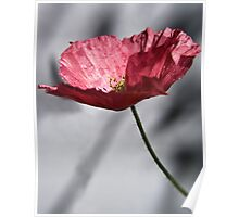 Red Poppy on Grey Background Poster