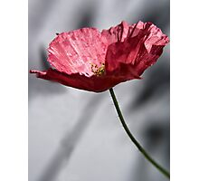 Red Poppy on Grey Background Photographic Print
