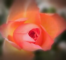 one rose by Joyce Knorz