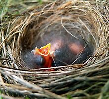 Baby Birds in Nest by Christina Rollo
