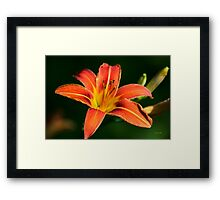 Orange Lily Flower Framed Print
