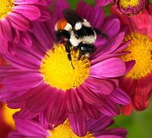 Red Tailed Bumble Bee by Christina Rollo
