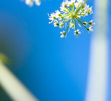 Cow Parsley (Anthriscus sylvestris) by Linn Arvidsson