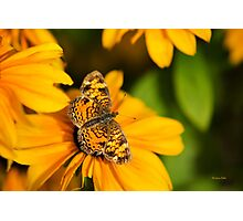 Pearl Crescent Butterfly Photographic Print
