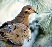 Winter Mourning Dove by Christina Rollo