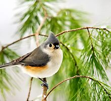 Winter Pine Bird by Christina Rollo