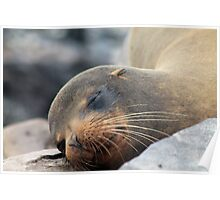 Sea Lion Whiskers Poster