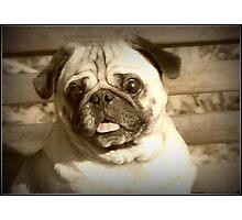Happy Pug Photographic Print
