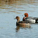 Eurasian Widgeon Pair by Robert Abraham