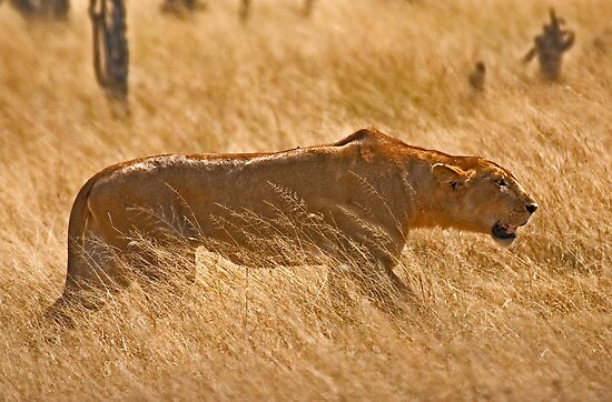 Lioness hunting by Konstantinos Arvanitopoulos