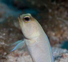 Yellow headed jawfish, Grand cayman by jackmbernstein