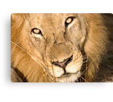 Male Lion - Here's Lookin' At Ya Canvas Print