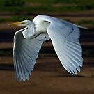 030710 Great White Egret by Marvin Collins