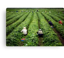 Strawberry Pickers Canvas Print
