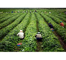 Strawberry Pickers Photographic Print