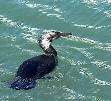 Great Cormorant by Caroline Anderson
