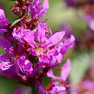 Purple loosestrife by CanDuCreations
