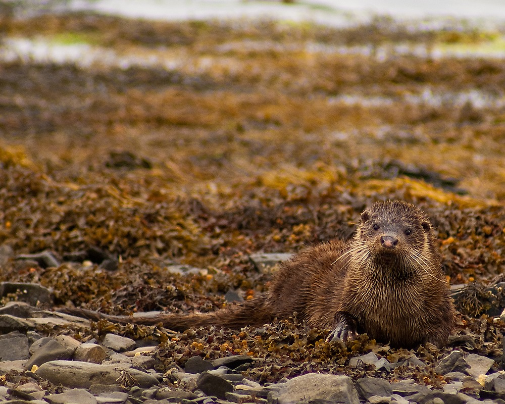 The Torsa Otter by Ben Smith