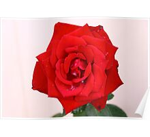 Stunning Red Rose Poster
