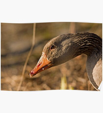 graylag goose Poster