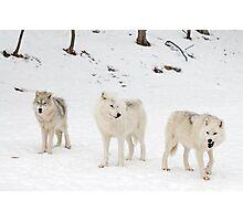 Three Bad Wolves Photographic Print