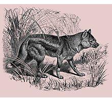 sidestriped jackal Photographic Print