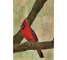 Male Cardinal Photographic Print