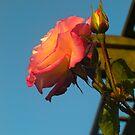 Rose by Margybear