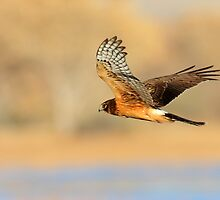 Northern Harrier Hawk by DavidQuanrud