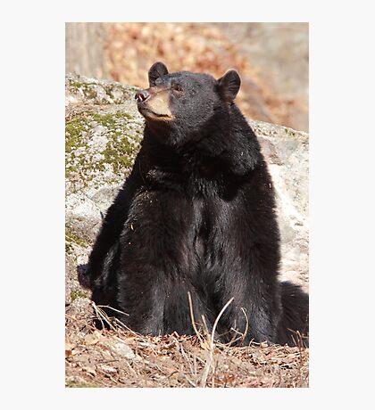 North American Black Bear Photographic Print