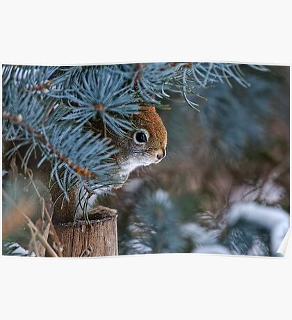 Red Squirrel in Spruce tree - Ottawa, Ontario - 2 Poster