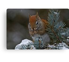 Red Squirrel in Spruce tree - Ottawa, Ontario Canvas Print