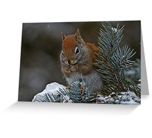 Red Squirrel in Spruce tree - Ottawa, Ontario Greeting Card