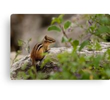 Chipmunk on Rocks - Ottawa, Ontario Canvas Print