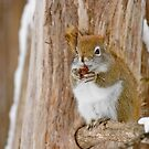 Red Squirrel - Dinner Time by Michael Cummings