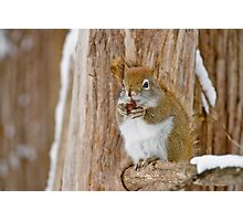 Red Squirrel - Dinner Time Photographic Print