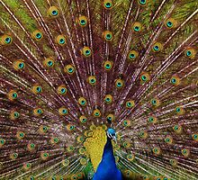 peacock  by marxbrothers