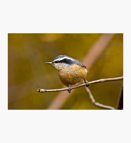 Red Breasted Nuthatch - Ottawa, Ontario Photographic Print